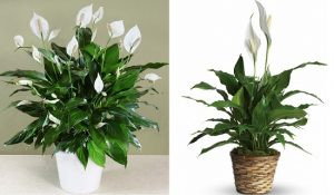 peace-lily-indoor-and-office